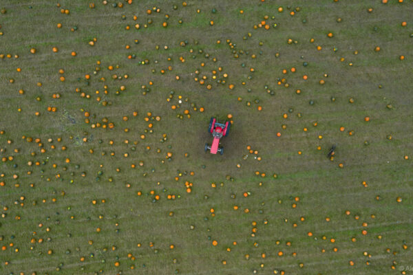130,000 Pumpkins photographed from above in Yorkshire   Alex Roebuck / www.alexroebuck.co.uk